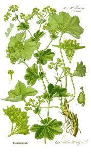 Alchemilla_vulgaris von pflanzenlexikon.com