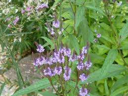 Echtes Eisenkraut von remedia-homeopathy.com