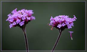 Eisenkrautblüten von meine-orangerie.de