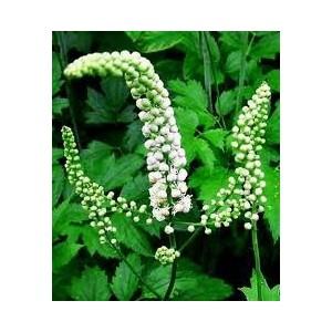 traubensilberkerze-cimicifuga-racemosa