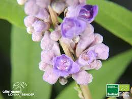 Vitexblüte von gaertnerei-benderde
