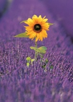 Postkarten_Natur_Sonnenblume im Lavendelfeld
