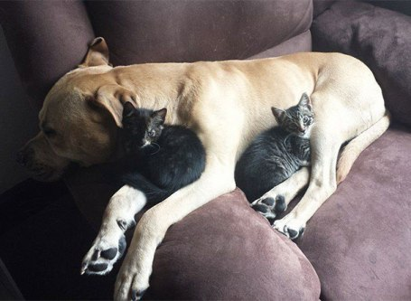 cute-cats-sleeping-on-dogs-13__605