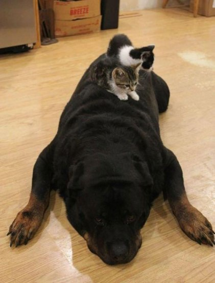 cute-cats-sleeping-on-dogs-15__605