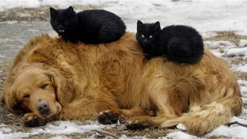 cute-cats-sleeping-on-dogs-20__605-1