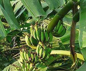 Banane-Musa-x-paradisiaca